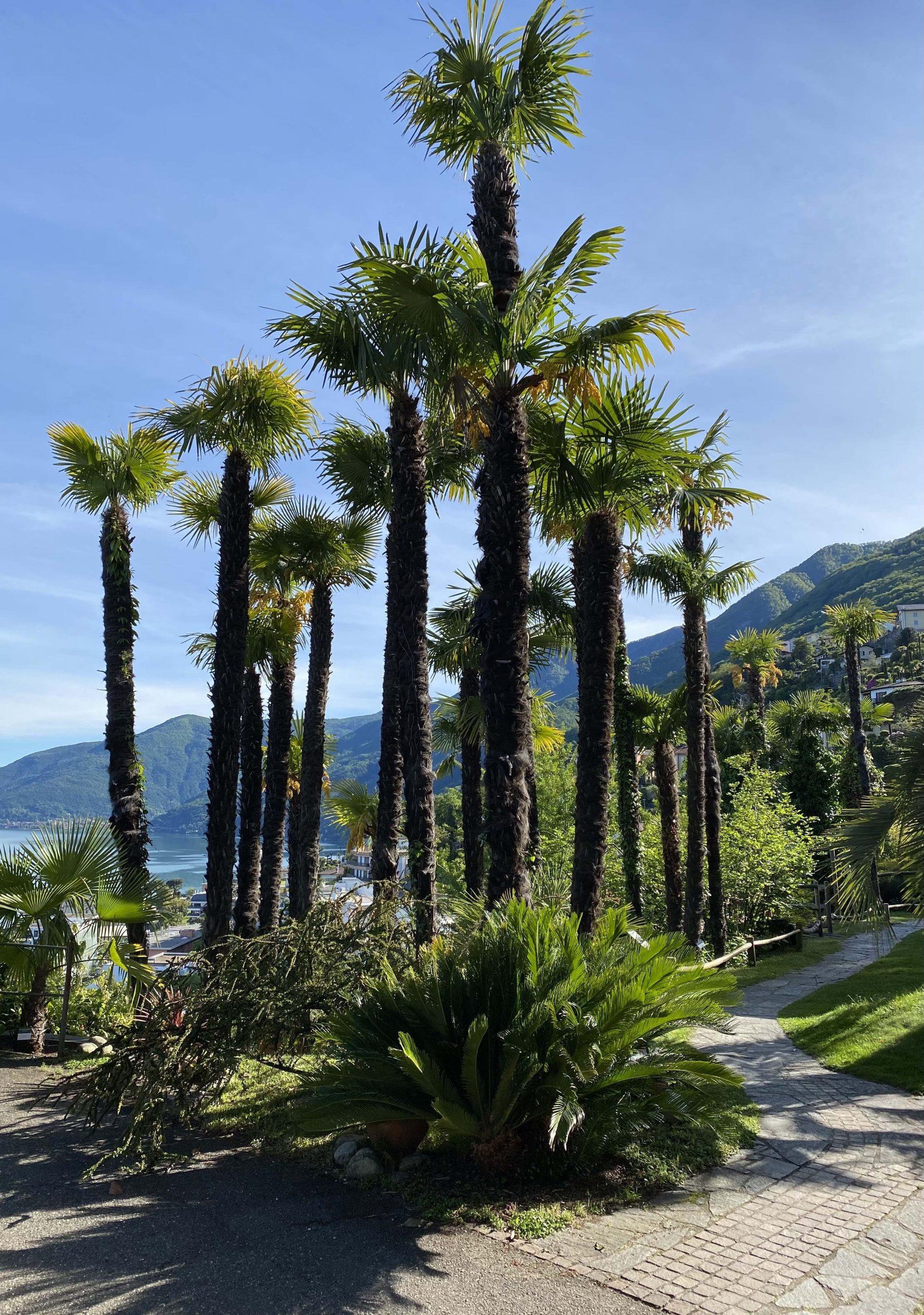 Palms in Brenscino parkhotel